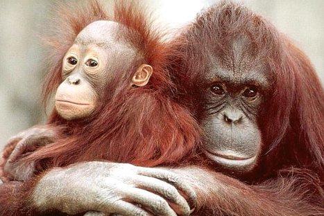 Los orangutantes conocen de ingeniería