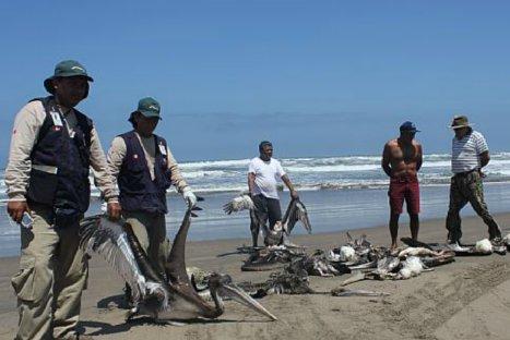 Autoridades investigarán muerte de pelícanos en el norte