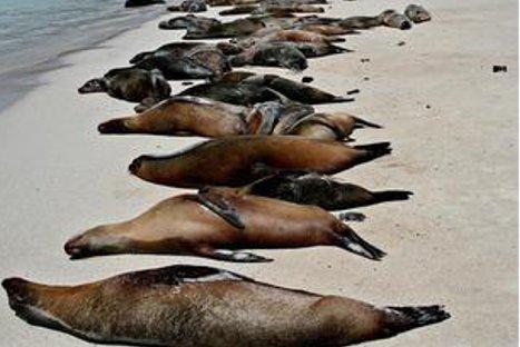 Unos 500 lobos marinos muertos son recogidos de la costa peruana
