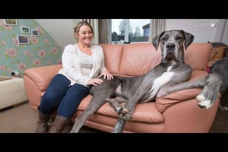 Conozca a uno de los perros más grandes del mundo-VIDEO | Internacionales | Radio panamericana