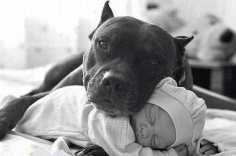 De perros pitbull bebés tiernos - Imagui
