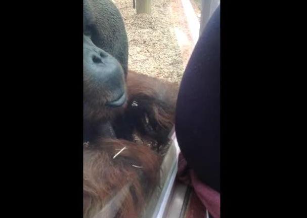 Mira el tierno gesto de un orangután con una mujer embarazada (VIDEO)