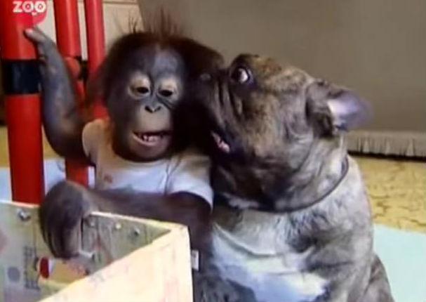 Orangután bebé quedó huérfano y fue adoptado por un tierno bulldog (VIDEO)