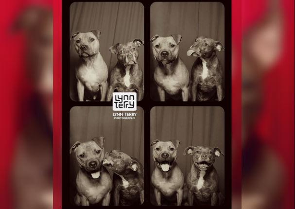 ¿Los perros pitbull son violentos? Estas fotos te demostrarán lo contrario