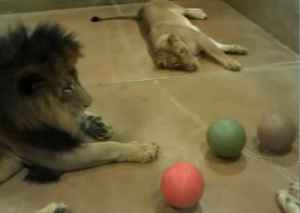 YouTube: Ver jugar a estos leones te quitará las ganas de trabajar
