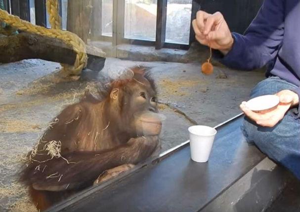 YouTube: Mira la increíble reacción de este orangután al ver un truco de magia