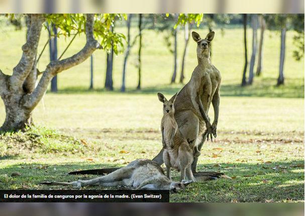 ¡Muy conmovedor! Canguro permanece junto a su pareja hasta su muerte (FOTOS)