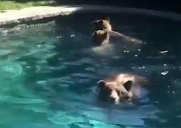 ¡Viral! Familia de osos invaden la piscina de una familia (VIDEO)