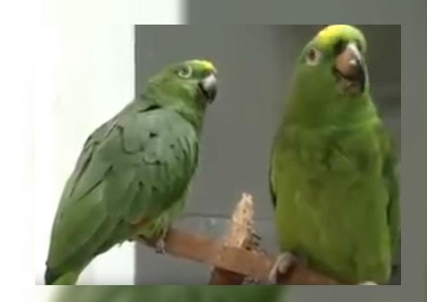 Youtube Viral: Loros cantando tema cristiano causan sensación (VIDEO)