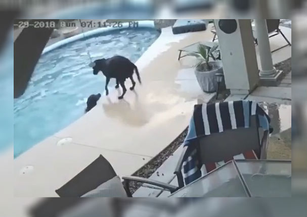 Youtube Viral: Perro salva a otro de terrible accidente en la piscina (VIDEO)