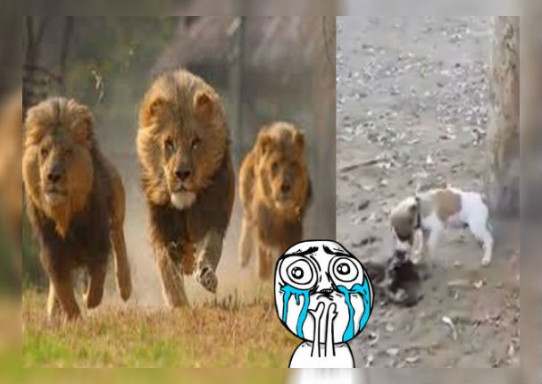 'Perrito' intentó robarse la comida de 3 leones y lo que pasó sorprendió a todos (VIDEO)