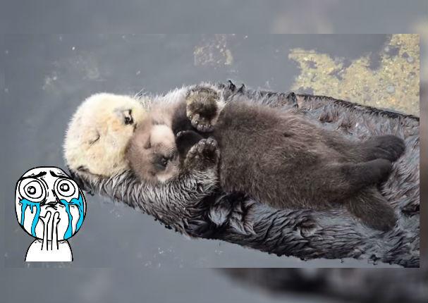 Viral: Nutria arrulla a su cría para dormir y causa gran ternura (VIDEO)