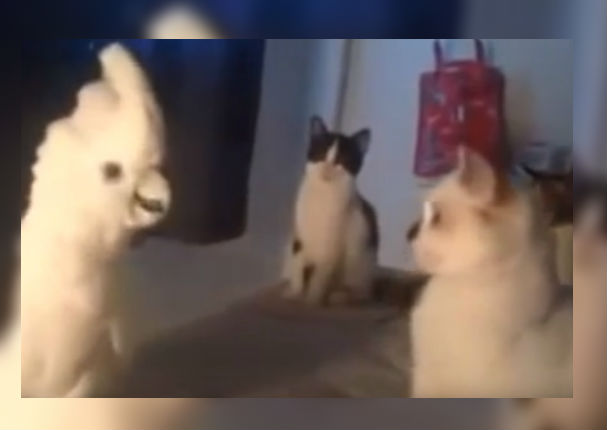 Youtube Viral: Cacatúa que se cree gato causa sensación en Internet (VIDEO)