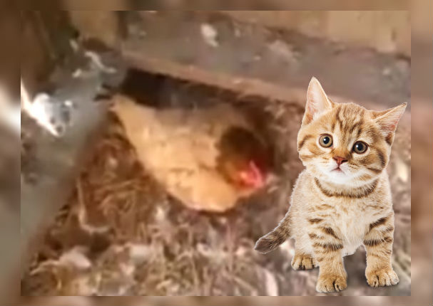 youtube-viral:-gallina-salva-la-vida-de-un-gato-a-punto-de-morir-de-frio-video