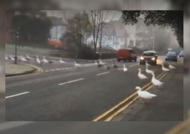 Facebook Viral: Alimentaba cisnes a diario, llegó tarde un día y esto pasó (VIDEO)