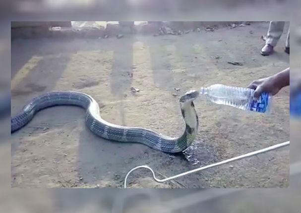 Youtube Viral: Grabaron a cobra mientras le daban agua y lo que pasó asombró a todos (VIDEO)