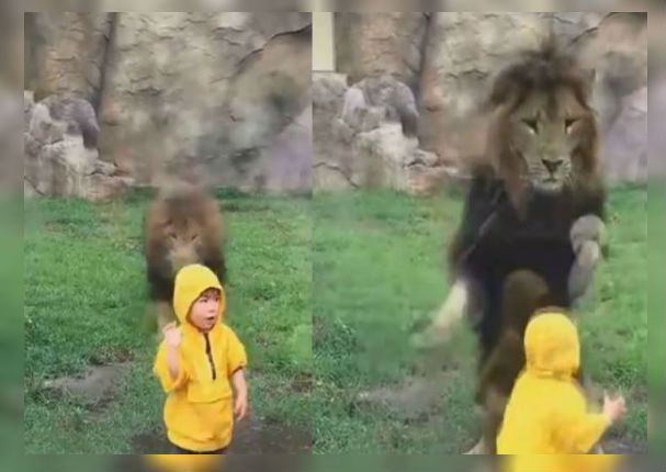 León ataca a niño y escena conmueve al mundo (VIDEO)
