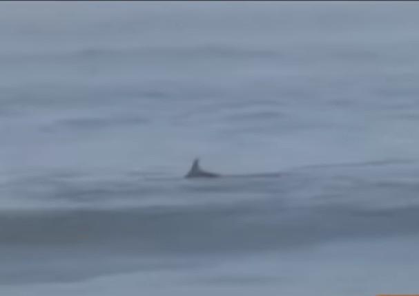 Aparecen delfínes en playas de Huacho