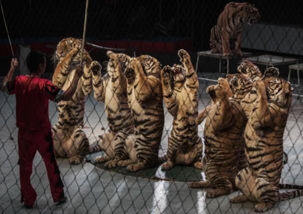 Francia prohibirá utilizar animales en los circos